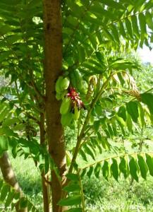 Arbuste de cardamome de Zanzibar