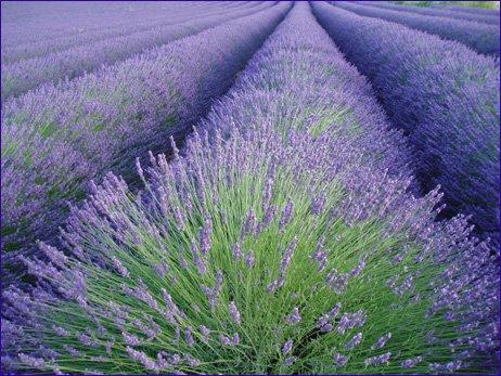 champs de lavande en provence du nord
