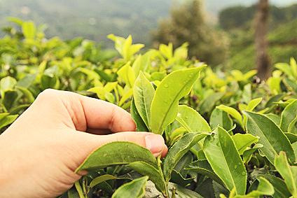 feuilles de thé vert avec des bourgeons au printemps