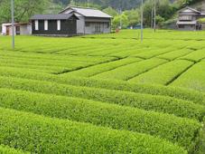 Champs de thé vert japonais à Kawane