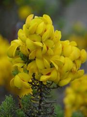 Honeybush en fleur Afrique du Sud