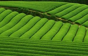 merveilleuse plantation de thé au Japon