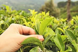Feuilles de thé avec des bourgeons de printemps
