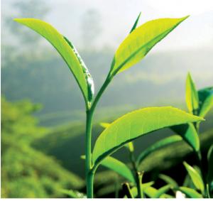 feuilles de thé vert avec des bourgeons