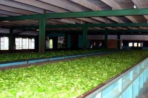 Manufacture de thé de Ceylan