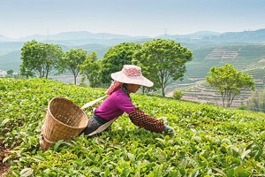 Plantation de thé dans le Darjeeling en Inde