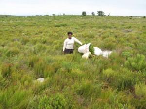 Plantation de rooibos d'Afrique du sud région du Cederberg