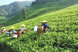 plantation de thé en Chine