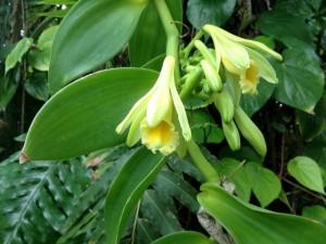 plante orchidée à vanille
