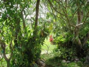 plante orchidée vanillia-planifolia