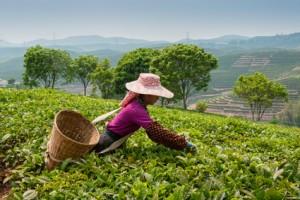 Plantation de thé à Darjeeling en Inde du Nord