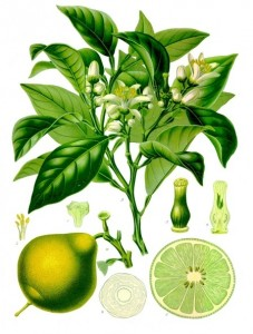 La bergamote planche botanique