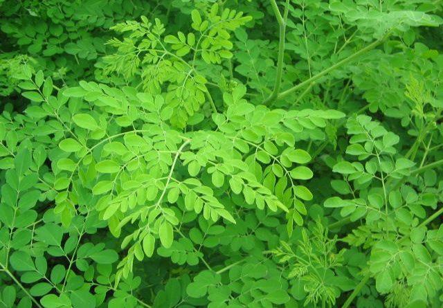 Le moringa oleifera, la plante aux 300 bienfaits - Thé-Passion