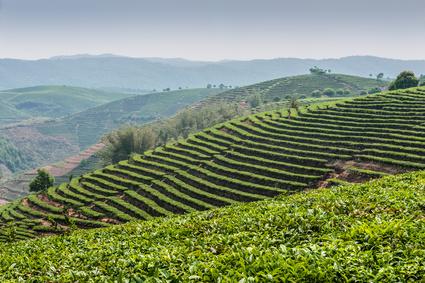 Plantation de thé de Ceylan au Sri Lanka