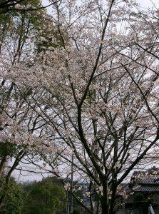 thé fleur de cerise prunus