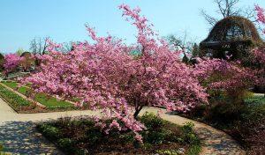 Prunus_sargentii thé à la fleur de rose