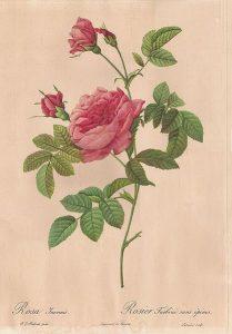 rose dessin