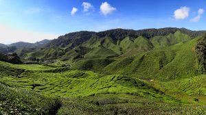 paysages thé