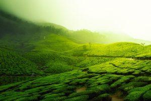 récolter du thé