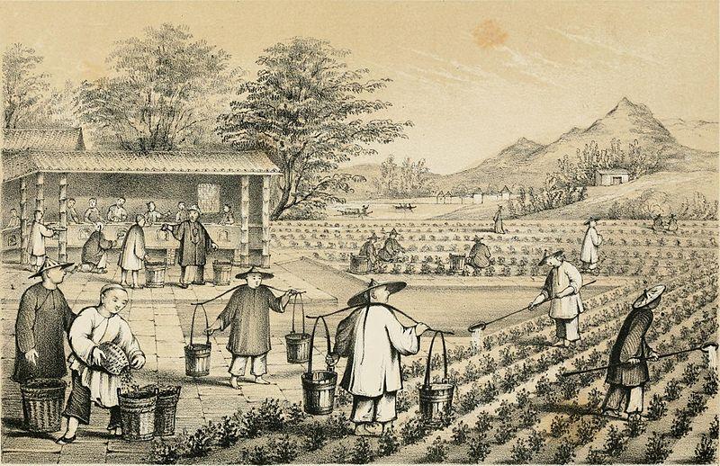 Production de thé en chine