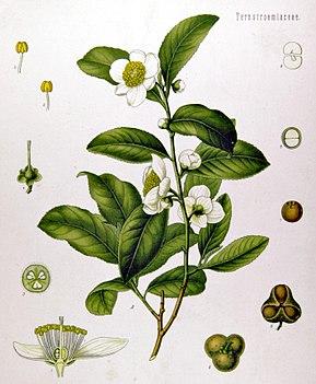 Camellia sinensis anecdotes sur le thé